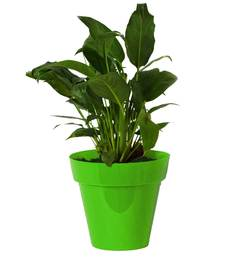 Rolling Nature Good Luck Peace Lily In Green Colorista Pot