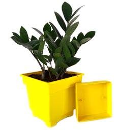Rolling Nature Zamia Plant In Yellow Square Pot